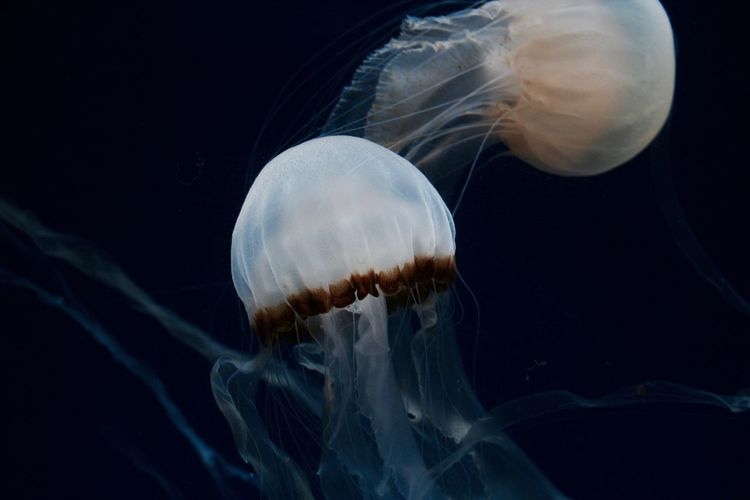 Animal Animal Themes Aquarium Jelly-fish Jellyfish Nature No People Sea Sea Life Swimming UnderSea Underwater Water