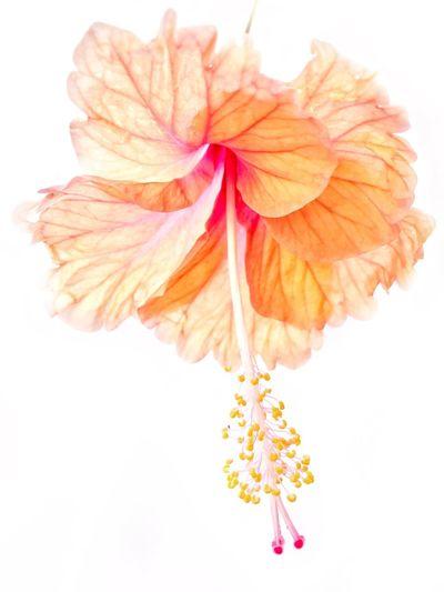 Hibiscus on