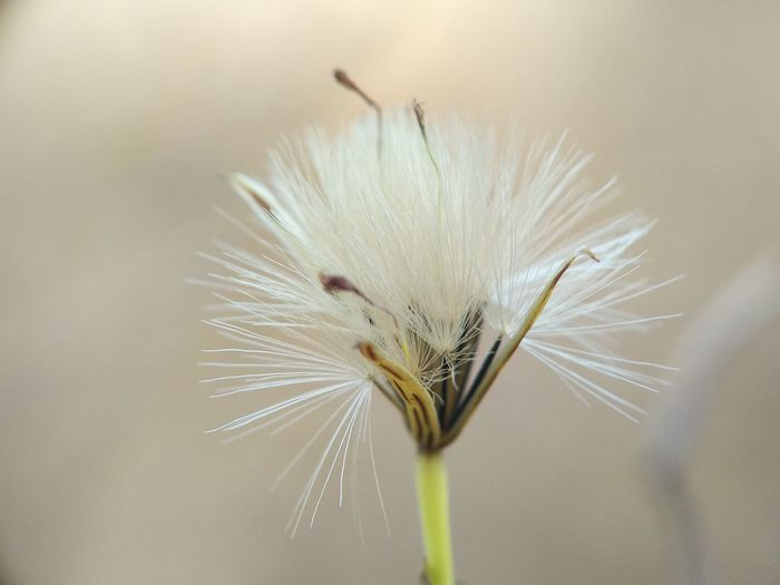 Close-Up Of White Dandelion Flower