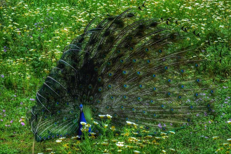 Animal Animal Themes Animal Wildlife Animals In The Wild Beauty In Nature Close-up Day Field Grass Green Color Nature One Animal Outdoors Peacock