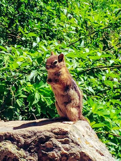 Hanging Lake Colorado Wild Life Chipmunk