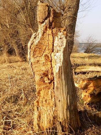 Tree Baumstamm Abgestorbene Bäume Abgestorben Totholz Bqaquaris Bq