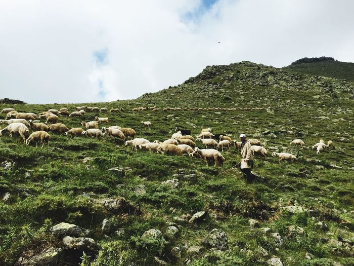 Shepherd with flock of sheep on grassy field against sky
