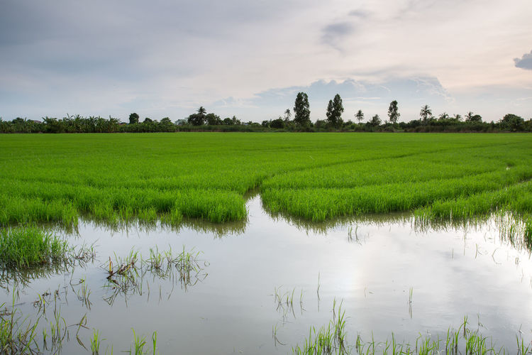 Color Field Green Landmark Landscape Natural Nature Park Reflection Rice Rice Field Sun Water