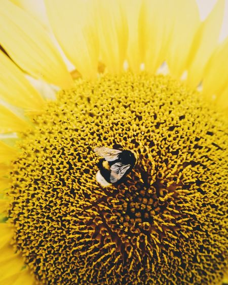 Extreme close-up of bee pollinating on sunflower