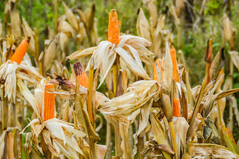 traditional way of harvesting corns Yellow Corn Agriculture Farm Crop  Harvest Harvest Season Abundance Countryside Country Life Summer Growth Nature Plant Flower No People Close-up Outdoors Cereal Plant