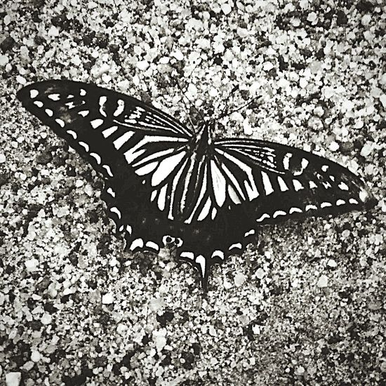 ちょっと夕涼み? 蝶々 アゲハチョウ Butterfly 梅雨 Blackandwhite Black & White Blackandwhite Photography Monochrome