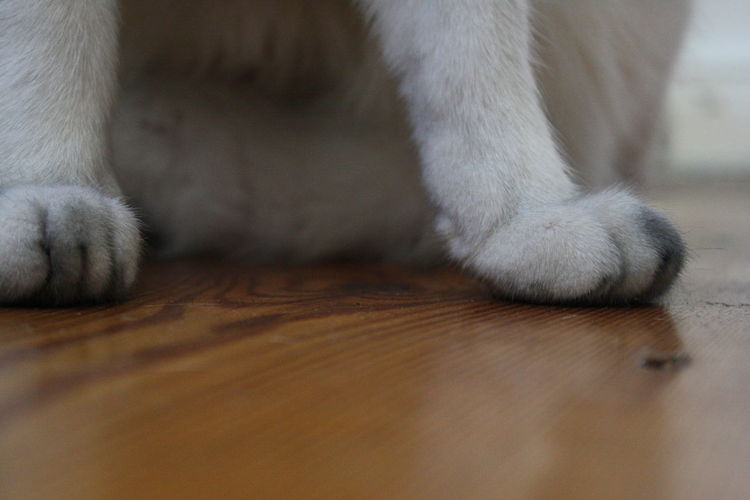Close-Up Of Cat Paws On Hardwood Floor