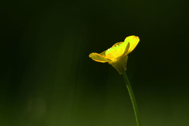 Buttercup, version 1, Photoshop. Beauty In Nature Blooming Botany Buttercup Buttercup Flower Close-up EyeEmFlower Eyeemflowerlover Flower Flower Head Focus On Foreground Fragility Freshness Green Color Growth Macroflower Macroflowerphotography Macroflowers Nature Petal Plant Selective Focus Stem Yellow