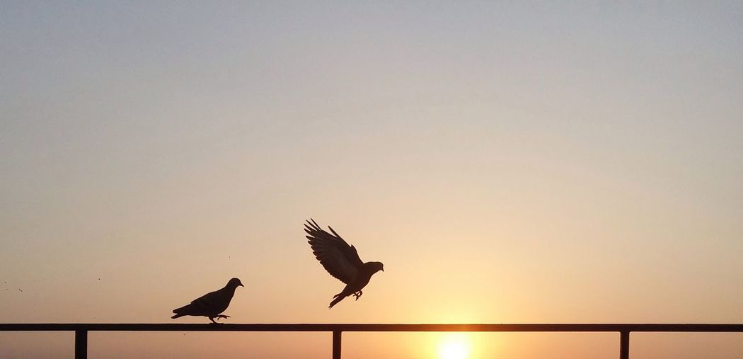Low Angle View Of Pigeons On Railing Against Sky During Sunset