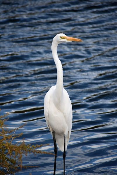 Cattle Egret Egypt Animals In The Wild Dark Blue Water No People One Animal Water Waves White Color