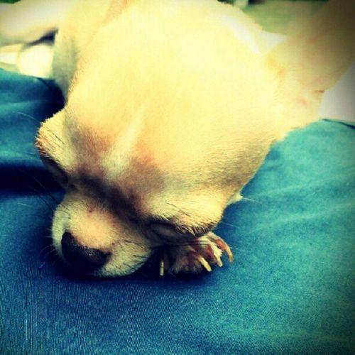 Applehead Chihuahua Babyelmo Igerscebu igersmanila ignation instago instabai instabai instagood petstagram petoftheday pets dogstagram dogoftheday dogs webstagram