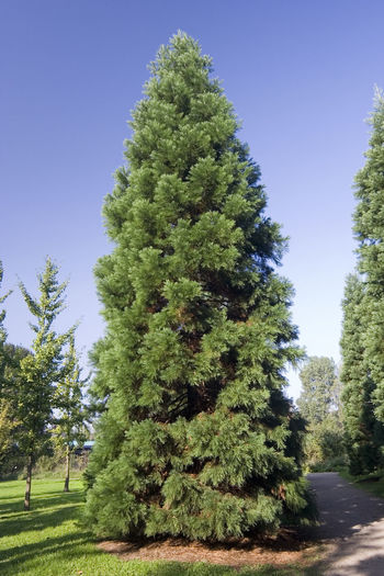 giant sequoia - the largest tree in the world Botany Clear Sky Conifer  Coniferous Tree Cupressaceae Germany Giant Giant Tree Growth Lush Foliage Majestic Majestic Nature Nature Needle - Plant Part No People NRW Oberhausen Redwood Ruhrgebiet Sequoia Sequoia Giganteum Sequoia Tree Single Tree Tall Tree