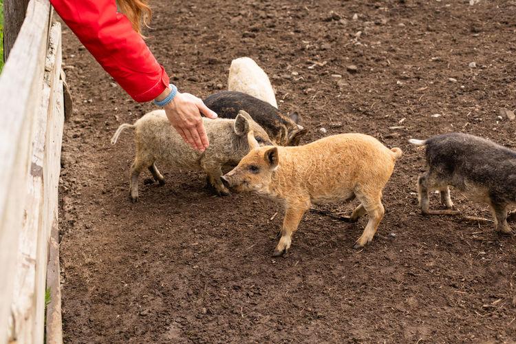 High angle view of sheep on mud