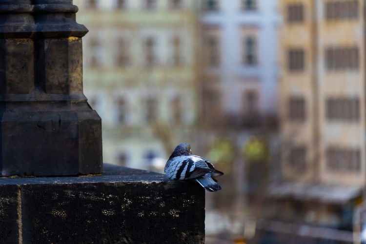 Close-up of pigeon perching on building