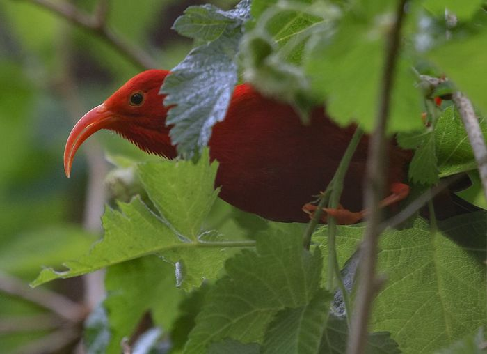 Endangered Hawaii 'I'iwi on wild raspberry bush Endangered  Endangered Species Hawaii Animal Themes Animal Wildlife Animals In The Wild Beauty In Nature Bird Close-up Day Forest Green Color Growth Leaf Nature No People One Animal Outdoors Perching Plant Raspberry Red Tree