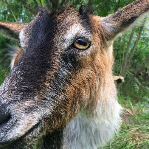 Goat Vilkovo OpenEdit Nature