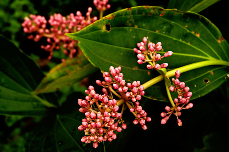 Bunches Of Pink Flower Buds