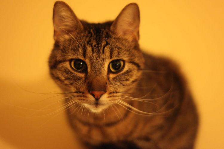 Portrait of cat against orange background