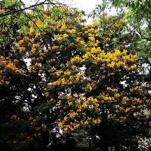Summerblooms Colorsofnature Yellowflowers Pune