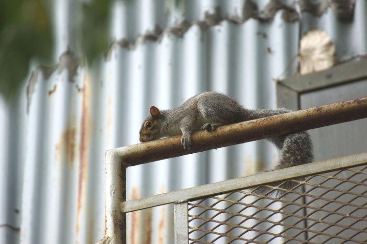Close-up of monkey on metal railing