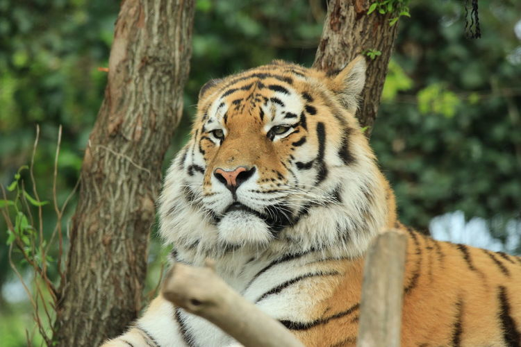 View of tiger against trees