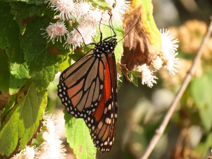 Migración Mariposa Monarca Beauty In Nature Butterfly Close-up Day Fragility Freshness Insect Leaf Migrating Monarch Butterfly Nature No People One Animal Outdoors White Flower