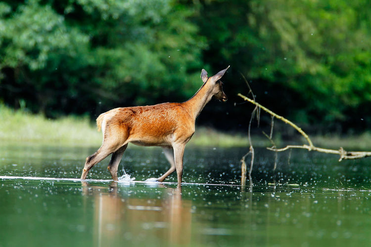 Deer wading in the sidebranch of the drava river