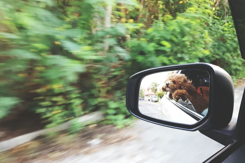 Hello my name is cooper the poddle. I love morning ride. Mirror Reflection Side-view Mirror Car Road Trip Outdoors Nature Day Summertime Doggieselfie Pet Love Poddle 🐩 Cute Dog  Pet Portrait EyeEm Gallery Window Tree