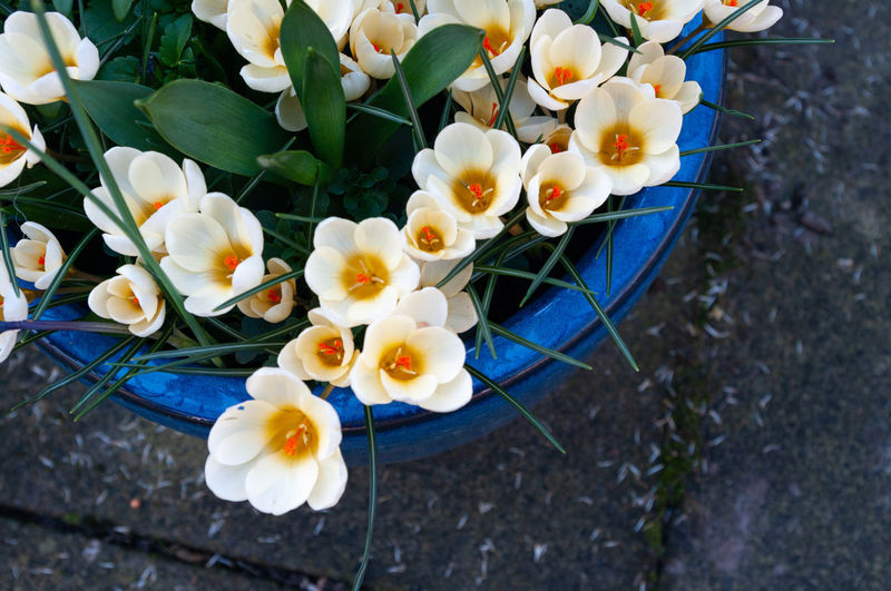 High angle view of white crocus flowers