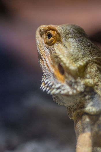 Bartagame - Pogona Animal Themes One Animal Animal Reptile Animal Wildlife Lizard Animal Body Part Animal Head  Vertebrate Animals In The Wild Close-up Bearded Dragon No People Focus On Foreground Day Looking Nature Outdoors Portrait Animal Scale Iguana Animal Eye Mouth Open Profile View