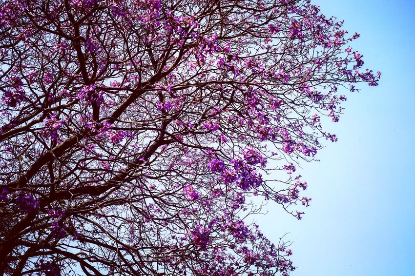 Flower Low Angle View Beauty In Nature Growth Nature Branch Tree Blossom Fragility Springtime No People Freshness Pink Color Clear Sky Close-up