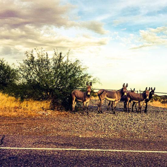 Cloud - Sky Sky Animal Themes Domestic Animals Outdoors Day No People Mammal Nature burros Donkey Photography Donkey Animals New River Arizona