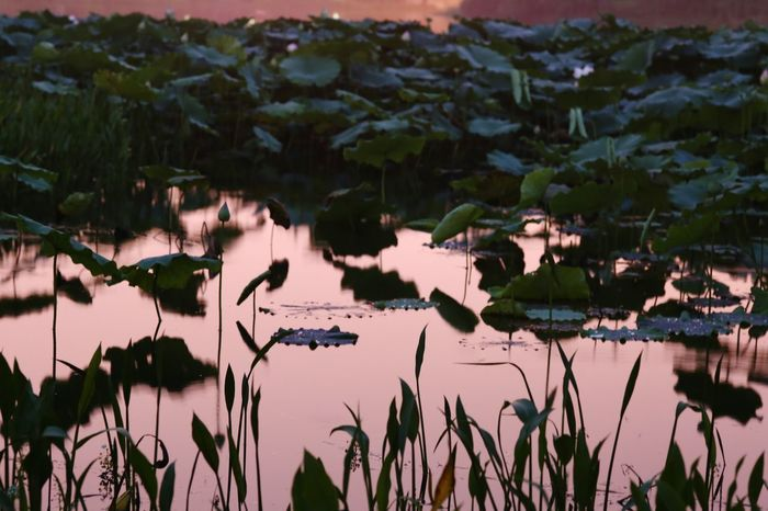 Night Lights Night Photography EyeEm Nature Lover Lotus Pond At The Park Watercolor Waterscape Huging Nature Water Reflections Lotus