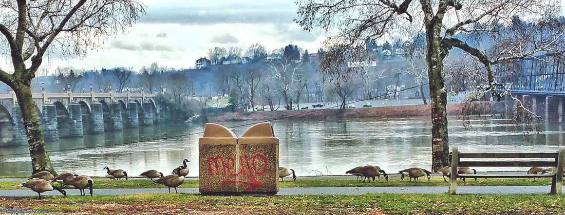 Taking Photos Walnutstbridge Eye4photography  EyeEm Best Shots Ducks Duckspotting Showcase: January Pennsylvania Pennsylvania Beauty Susquehannariver, Harrisburg, Pa Mycity My City