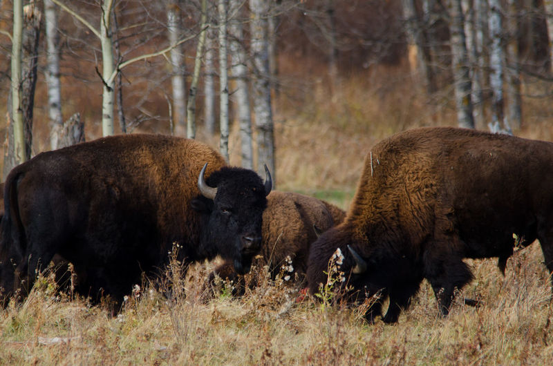 American bison on field in forest
