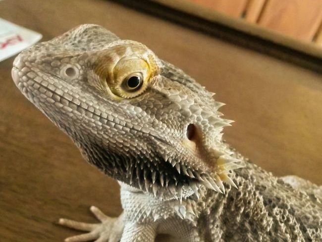 Izzy Pogona Bearded Dragon Reptile