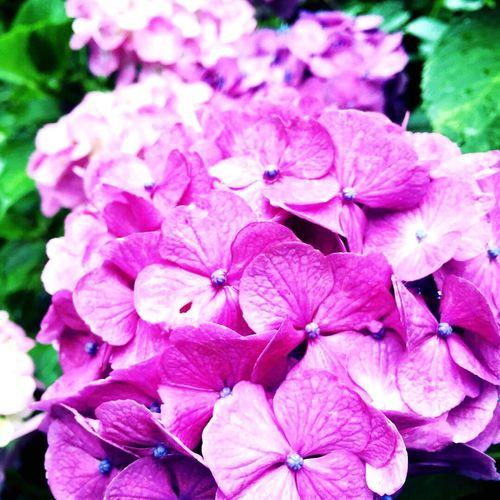 あじさい Purple Flower Beauty In Nature Flower Head Day