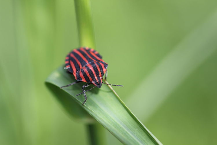 Beetle On Grass Blade