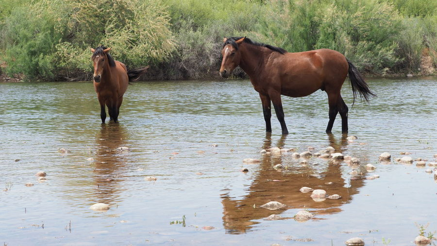 Horse standing in a lake