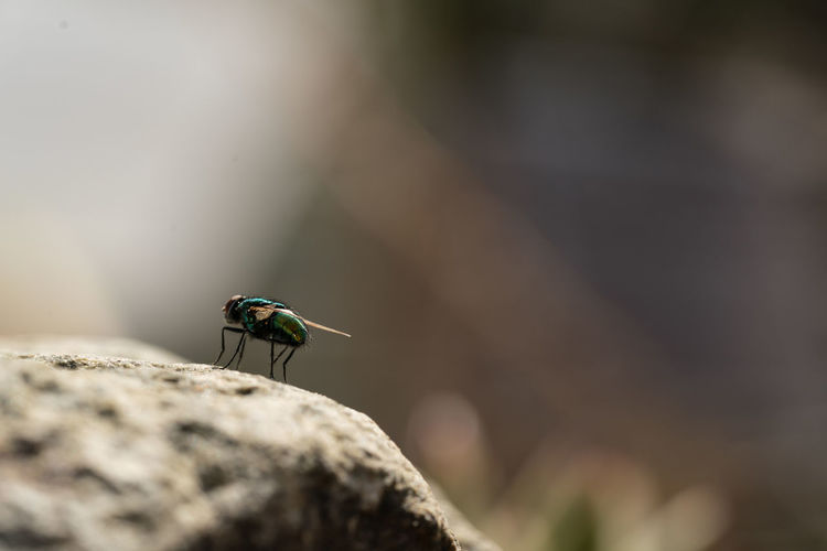 Common green bottle fly close up, macro lucilia sericata fly, sitting on a stone outside