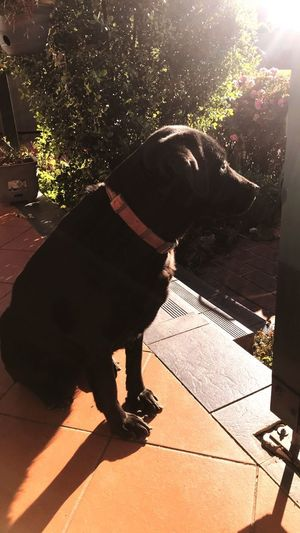 My muse Labrador Fur Baby Sunlight Shadow Nature One Animal Mammal Domestic Animals Pets Vertebrate Domestic Full Length Outdoors Lens Flare Plant Tree Dog Lifestyles Day