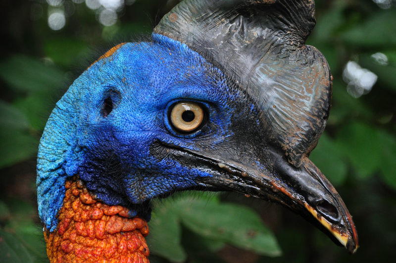 Close-up side view of cassowary in forest