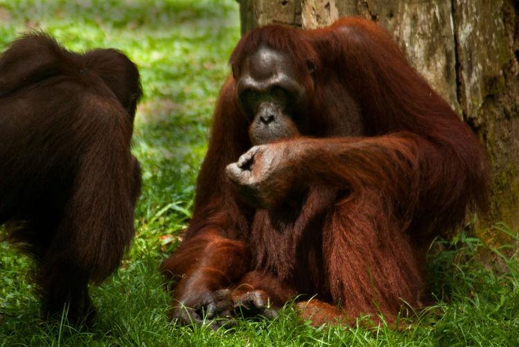 Animal Themes Ape Day Mammal Monkey Nature No People Orangutan Outdoors