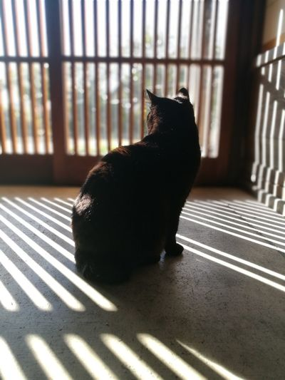Black Cat Cat Sun Light Cat Lovers Japanese Traditional House Shadow Silhouette Lattice Door Striped One Animal No People Indoors  Animal Themes Pets Day