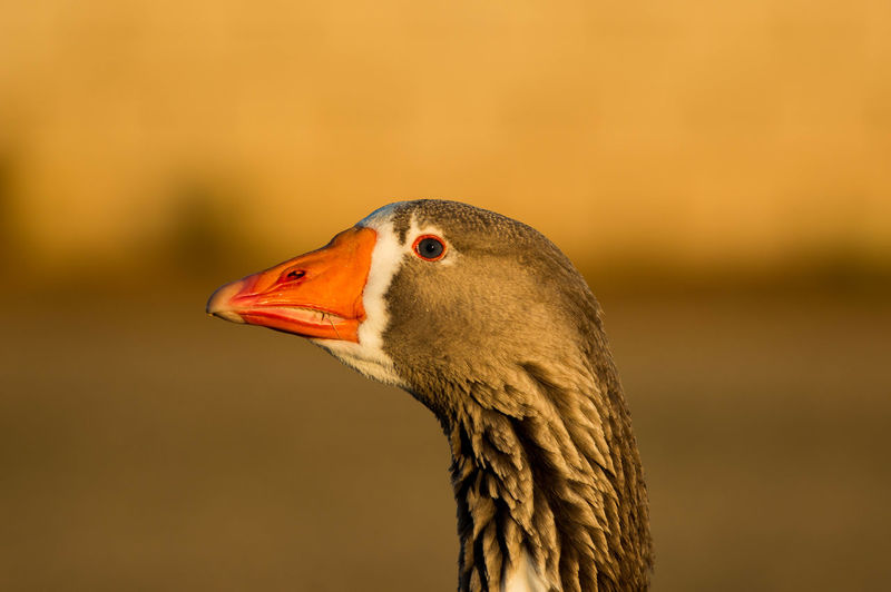 Bird Photography Feathers Animal Themes Animal Wildlife Animals In The Wild Beak Bird Close-up Day Focus On Foreground Nature No People One Animal Outdoors Waterfowl