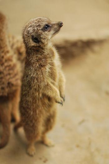 ミーアキャットは一人で見張りをします。他は怠けてる。Animals Zoo Zoo Animals  Alone