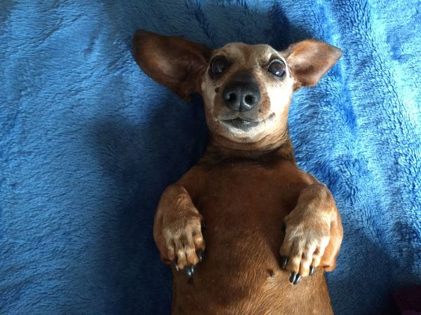 Dog Portrait Age Of Wisdom Dachshund 14 Years Old Senior Dog Love Cute Dogs Of EyeEm Dog Photography Domestic Animals Pets Dog Indoors  High Angle View Relaxation Sunlight Portrait Blue Brown Looking At Camera No People Day