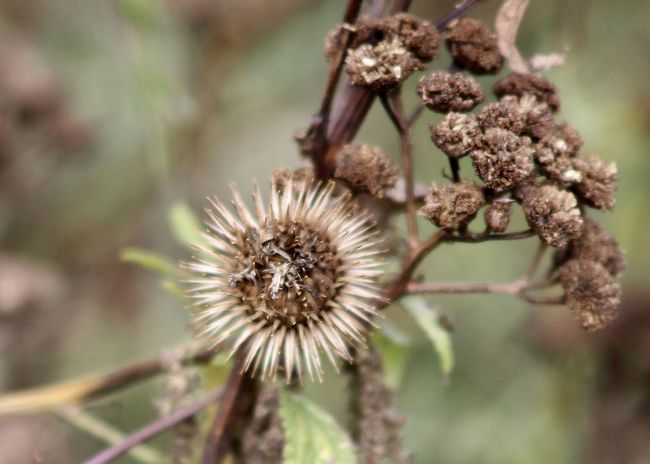 wonderful dried Burdock Root thistle and a Tansy flower against abstract background Autumn Autumn Colors Beige Field Abstract Backgrounds Backgrounds Beauty In Nature Brown Burdock Root Close-up Dried Plant Environment Fine Art Flower Flower Head Focus On Foreground Fragility Nature No People Outdoors Plant Selective Focus Tansy Thistle Wallpaper