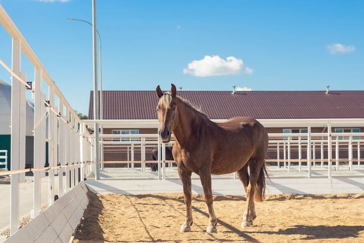 Horse walks in the paddock in a modern equestrian club. calm relaxed animal rests.